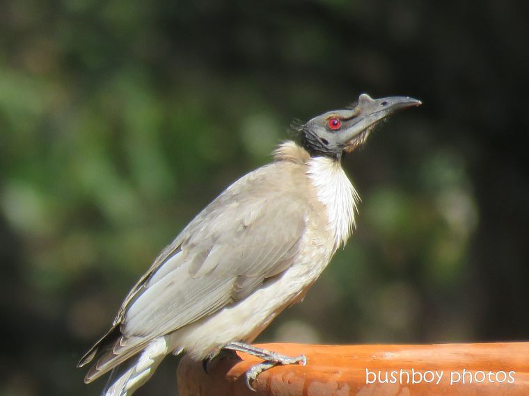 noisy friarbird_bird bath_named_home_aug 2018
