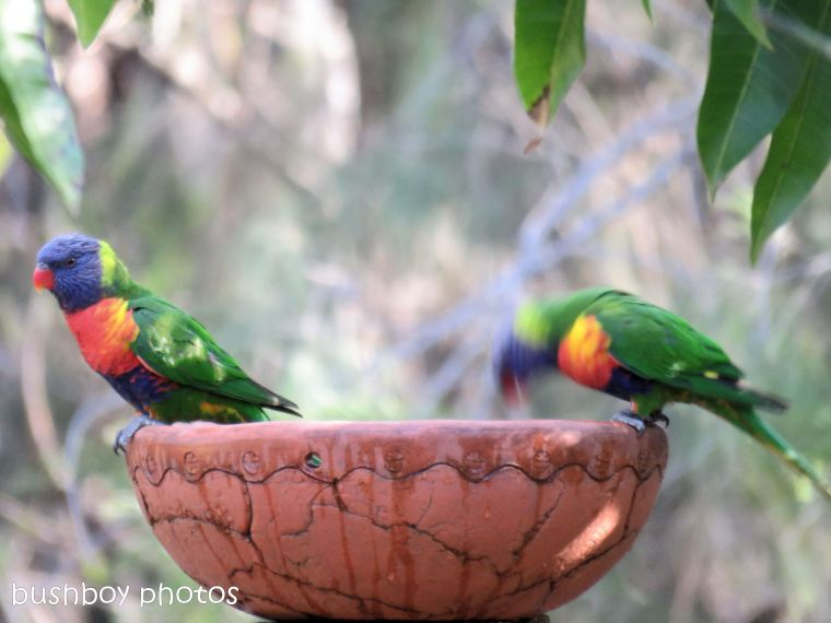rainbow lorikeets_bird bath_named_home_aug 2018