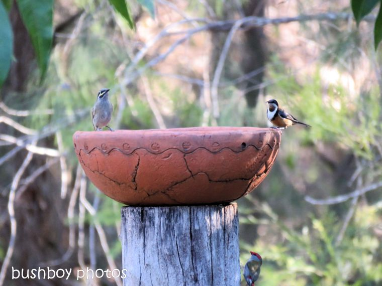 red browed firetail_eastern spinebill_yellow faced honeyeater_bird bath_named_home_aug 2018