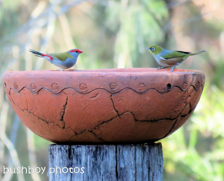 red browed firetail_silvereye_bird bath_named_home_aug 2018