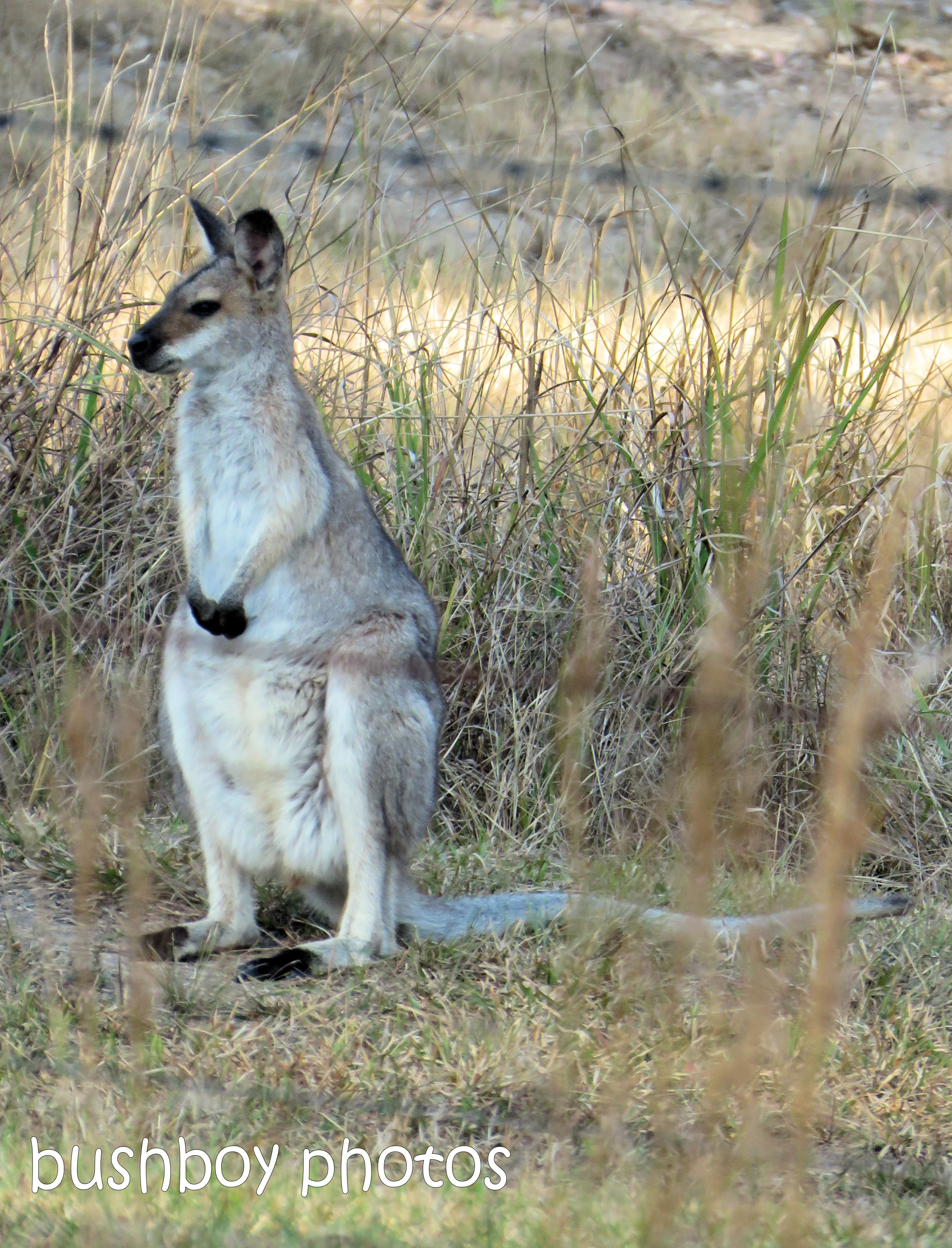 red necked wallaby_named_home_aug 2018