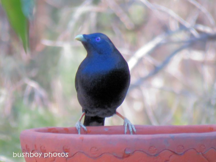 satin bower bird_male_bird bath_named_home_aug 2018