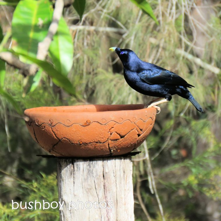 satin bowerbird1_named_home_sept 2018