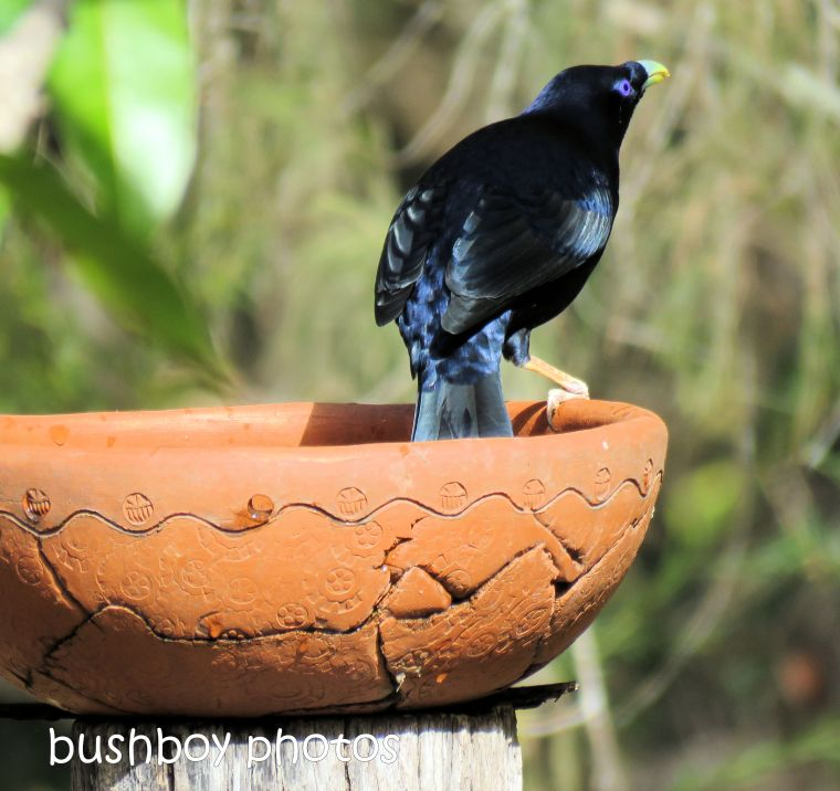 satin bowerbird5_named_home_sept 2018