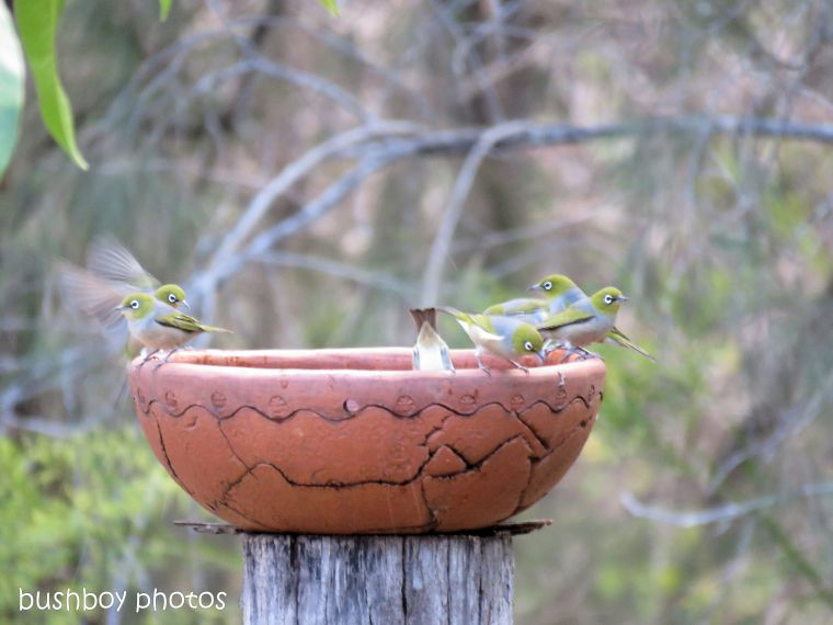 silvereyes_bird bath_named_home_aug 2018