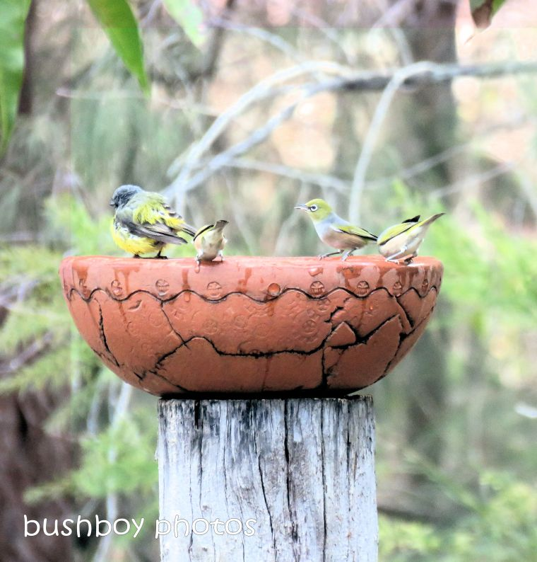 silvereyes_eastern yellow robin_bird bath_named_home_aug 2018