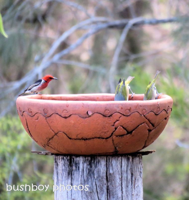 silvereyes_scarlet honeyeater_bird bath_named_home_aug 2018