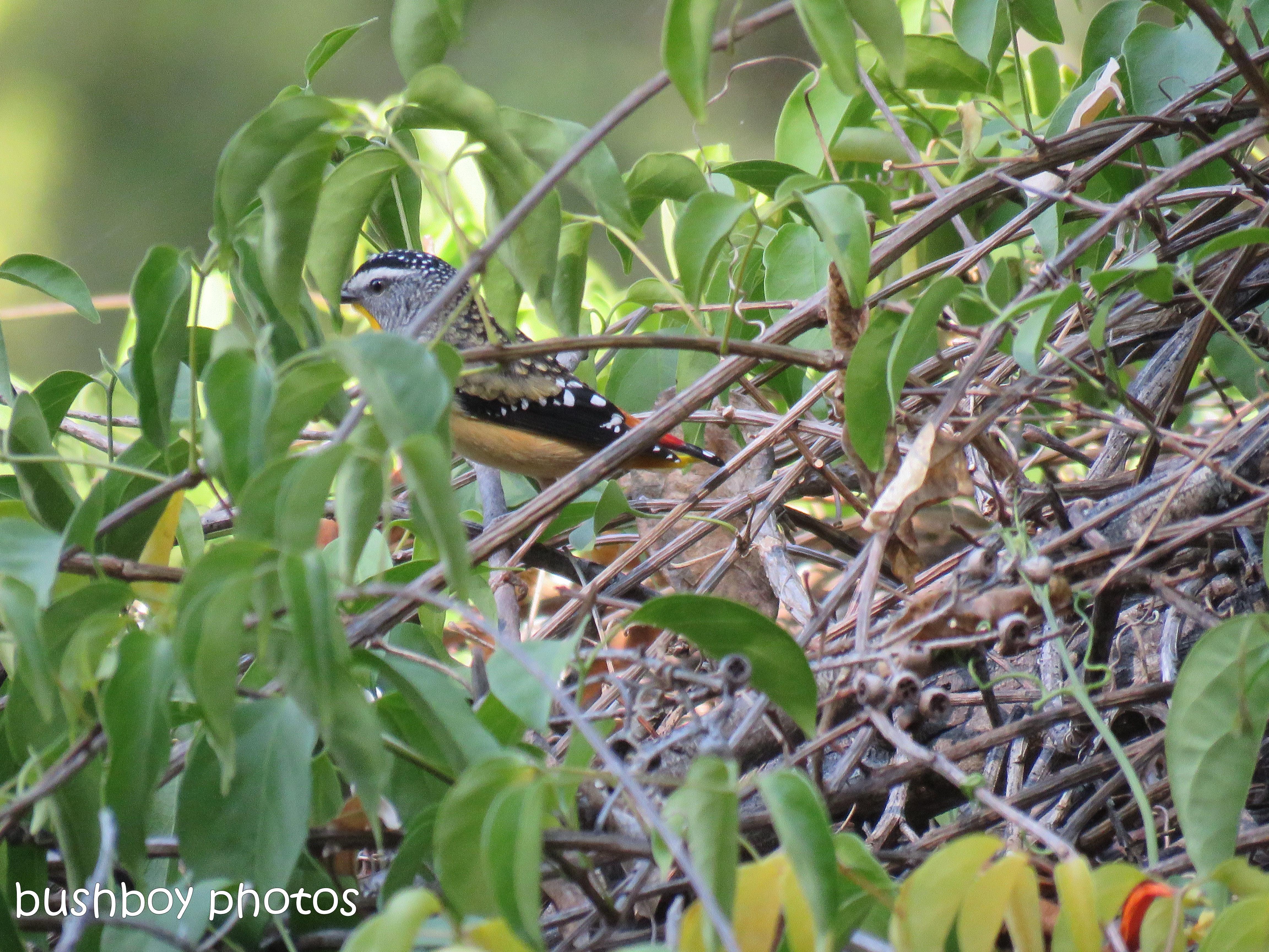 spotted pardalote_named_home_aug 2018