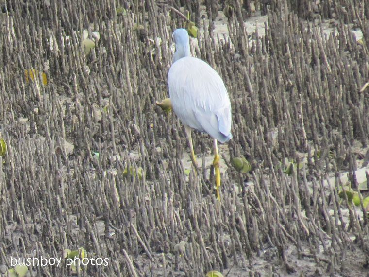white faced heron11_crab_brunswick river_brunswick heads_sept 2018
