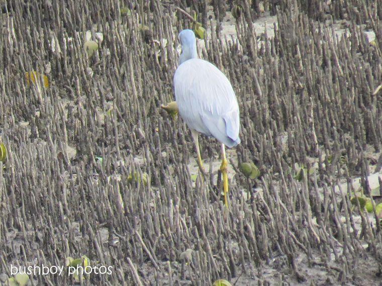 white faced heron11_crab_brunswick river_brunswick heads_sept 2018