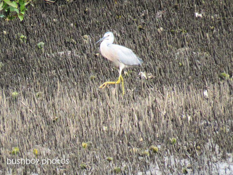 white faced heron1_crab_brunswick river_brunswick heads_sept 2018