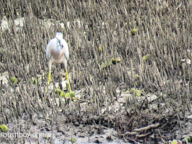 white faced heron4_crab_brunswick river_brunswick heads_sept 2018