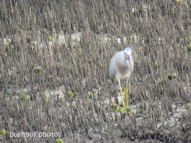 white faced heron8_crab_brunswick river_brunswick heads_sept 2018