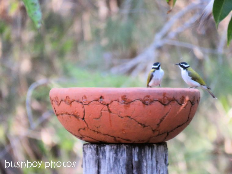 white throated honeyeatersr_bird bath_named_home_aug 2018