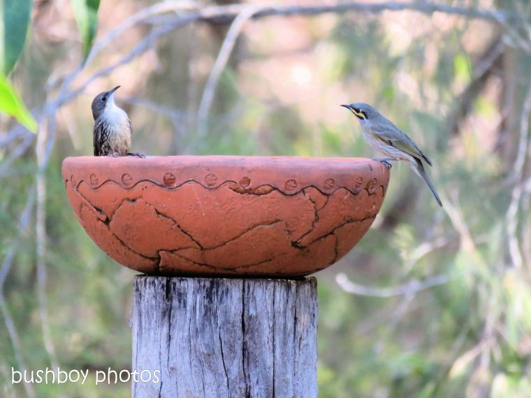 white throated treecreeper_yellow faced honeyeater_bird bath_named_home_aug 2018
