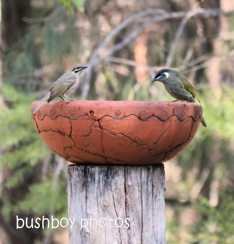 yellow faced honeyeater_lewins honeyeater_bird bath_named_home_aug 2018