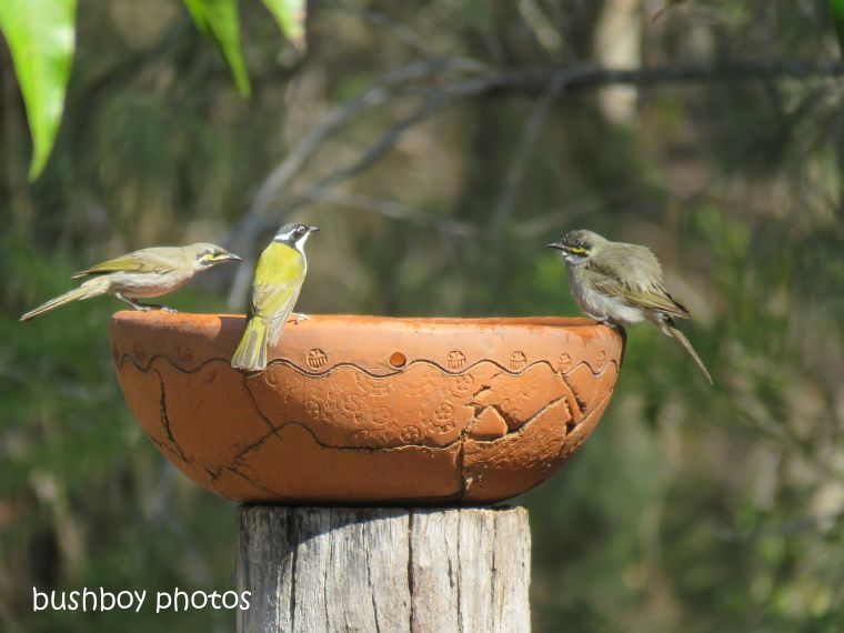 yellow faced honeyeaters_white throated honeyeater_bird bath_named_home_aug 2018