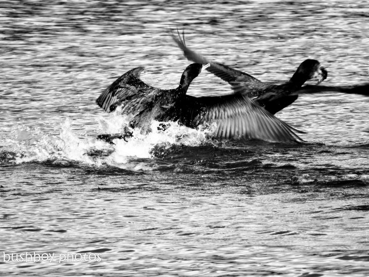 181005_blog challenge_black and white_flight_cormorants_fishing_grafton