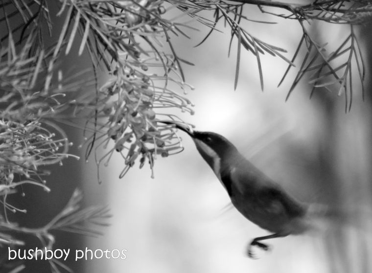 181005_blog challenge_black and white_flight_eastern spinebill
