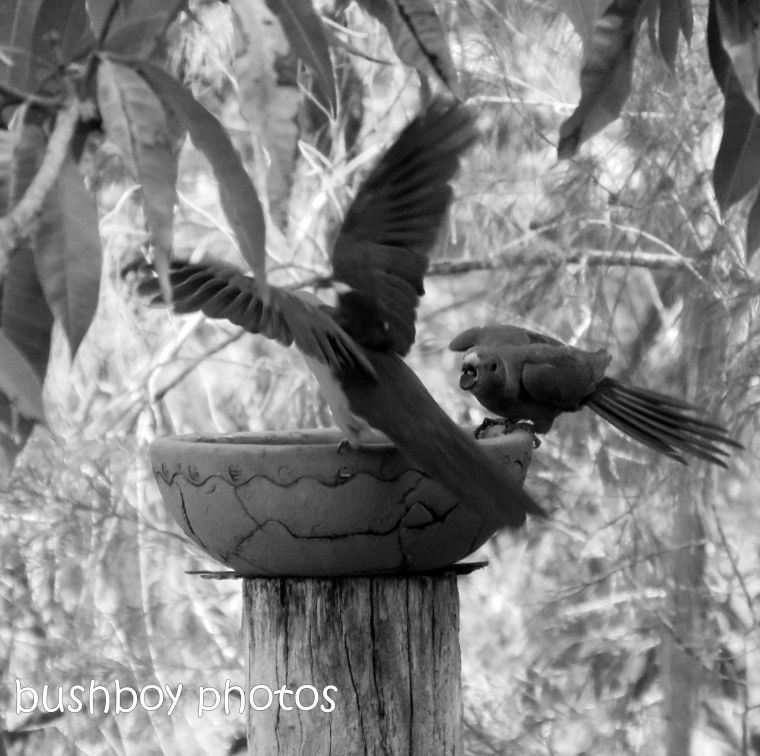 181005_blog challenge_black and white_flight_king parrots_bird bath