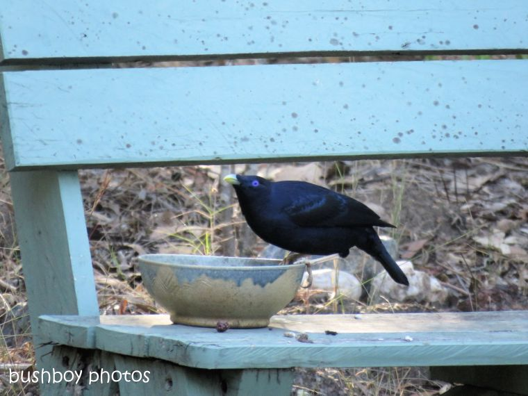 181005_blog challenge_comback_satin bowerbird_bench_there