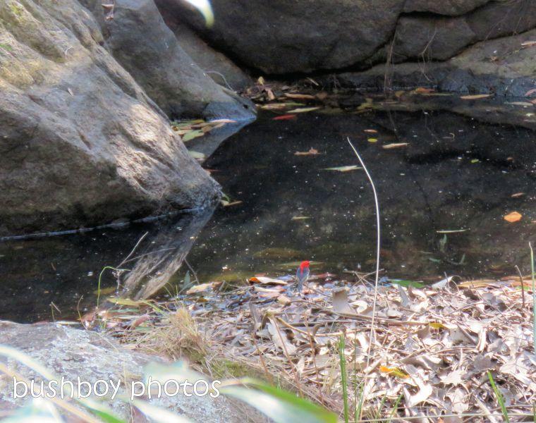 181010_blog challenge_pool_pond_scarlet honeyeater