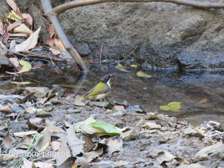181010_blog challenge_pool_pond_white throated honeyeater