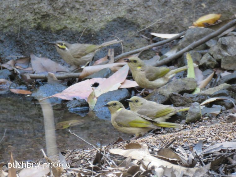 181010_blog challenge_pool_pond_yellow faced honeyeater_fuscous honeyeaters
