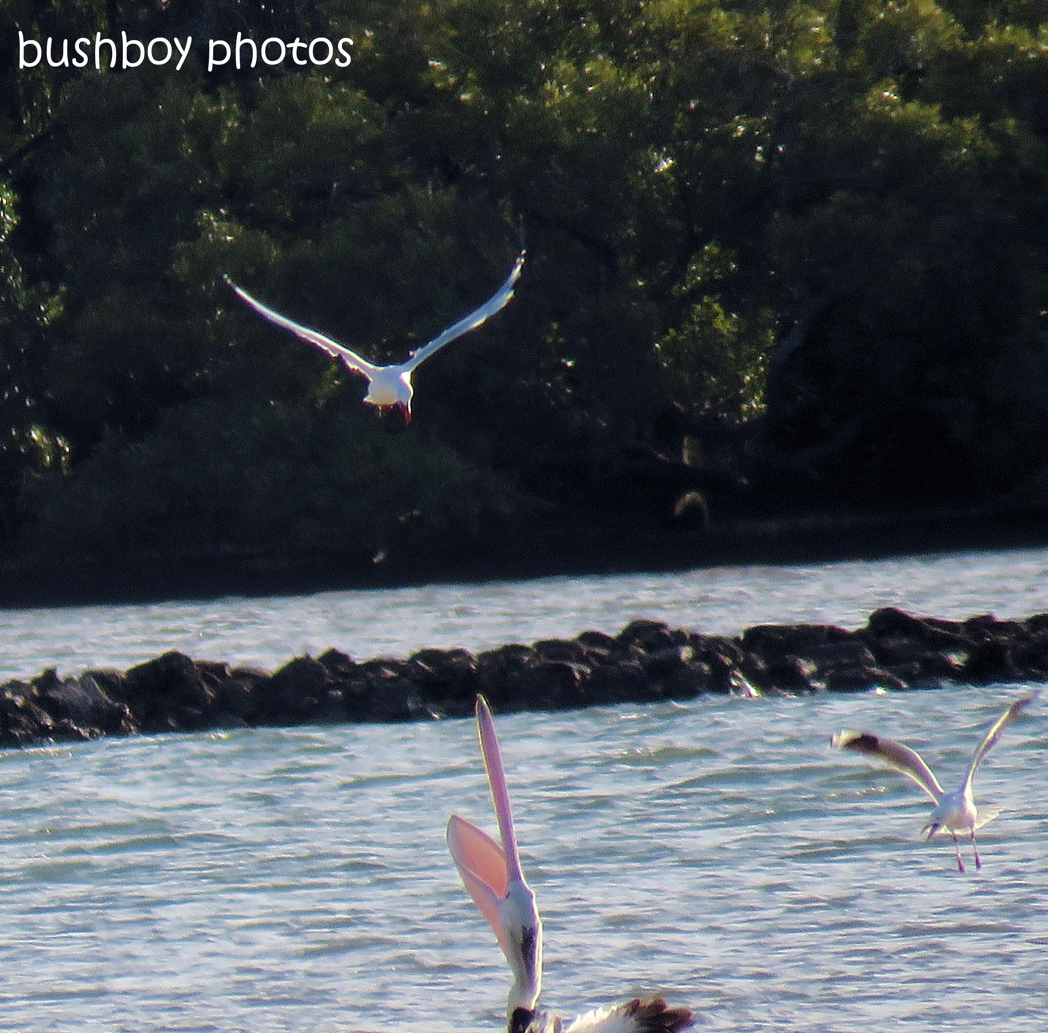 181016_blog challenge_reflection_gull_pelican_ballina