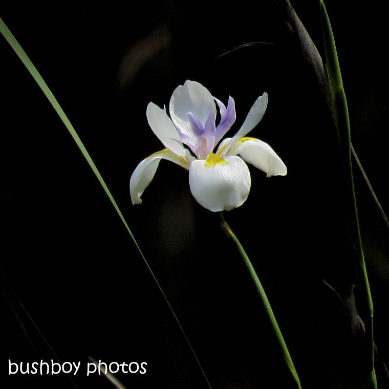 dietes_flower_named_home_sept 2018