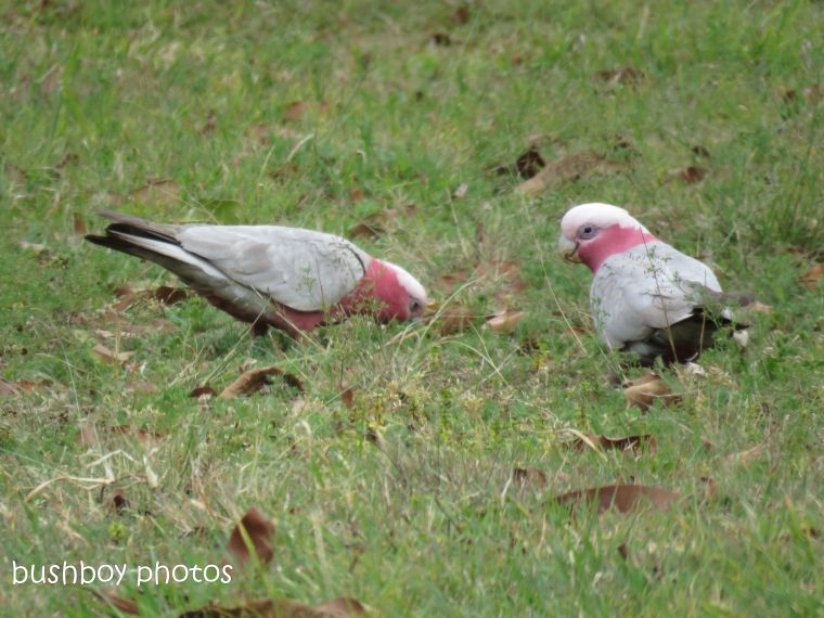 galahs_named_caniaba_sept 2018