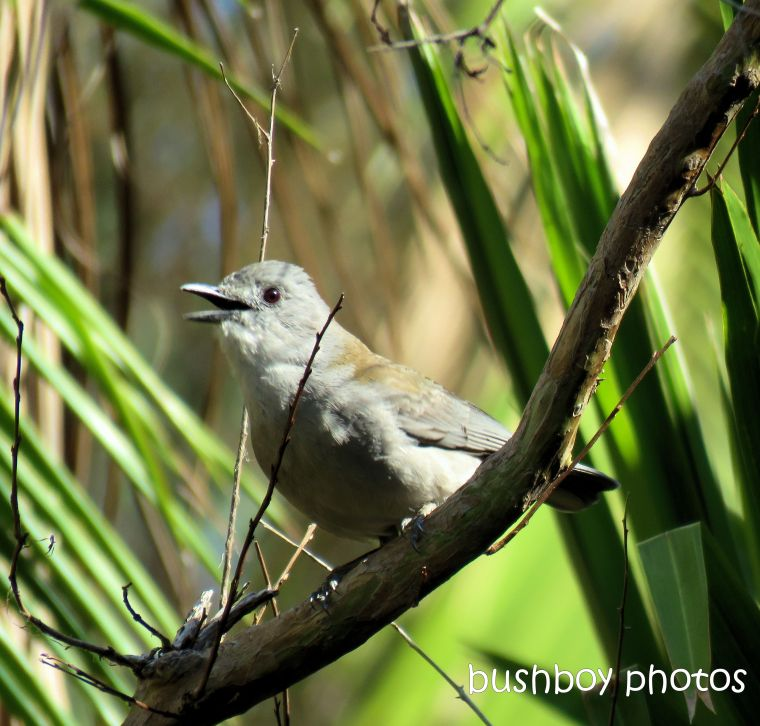 grey shrike thrush_named_home_sept 2018
