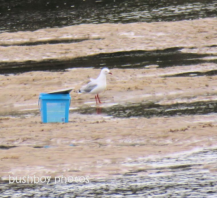 gull_fishers_bucket_named_brunswick heads_sept 2018