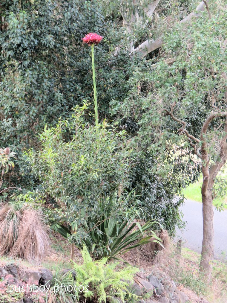 gymea_lily_flower spike_named_caniaba_sept 2018