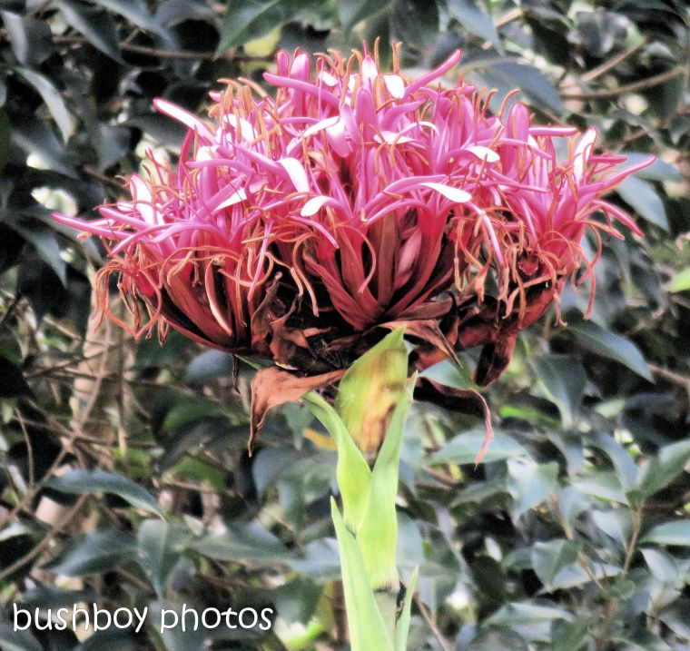gymea_lily_flower_named_caniaba_sept 2018