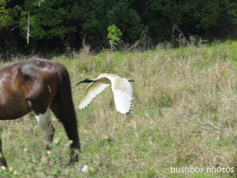 ibis_horse_named_lismore_sept 2018