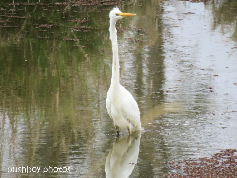 intermediate egret_named_caniaba_sept 2018