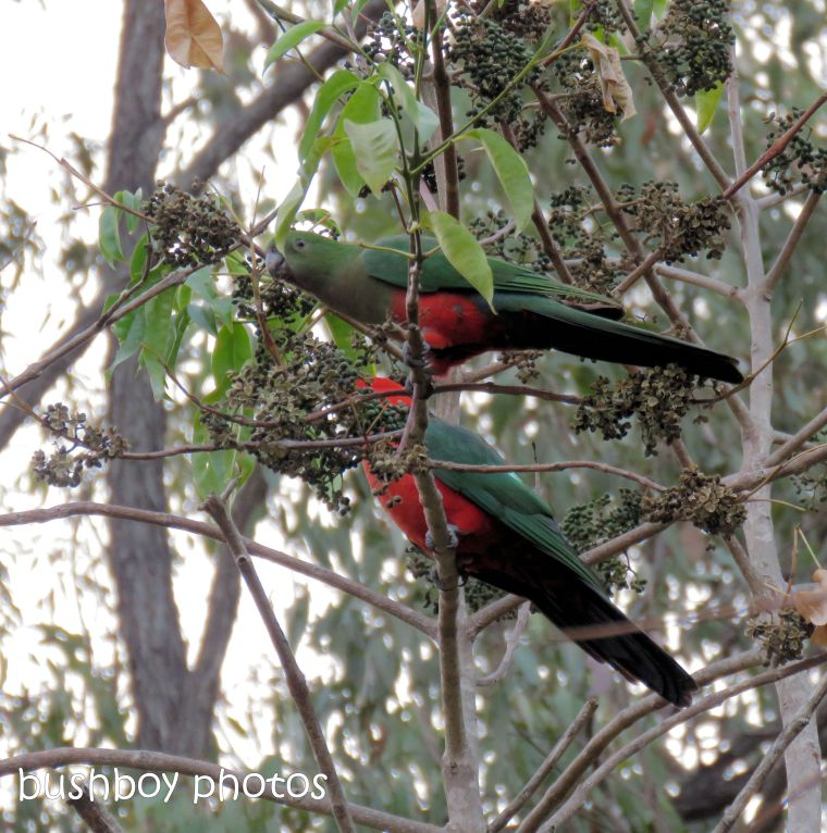 king parrots_named_home_sept 2018