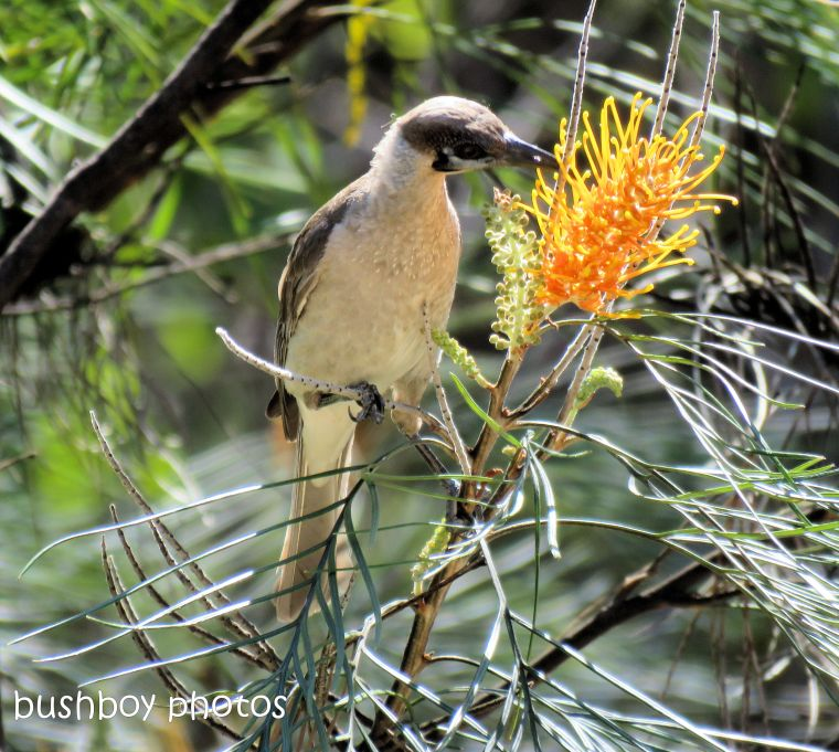 little friarbird_honey gem_named_home_sept 2018