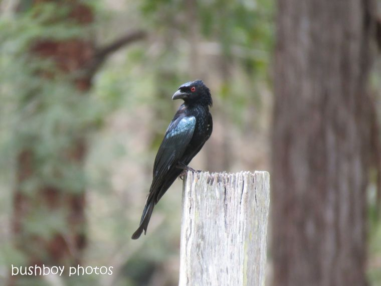 spangled drongo_my post1_named_home_oct 2018