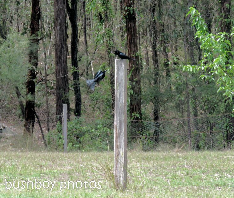 spangled drongo_my post2_named_home_oct 2018