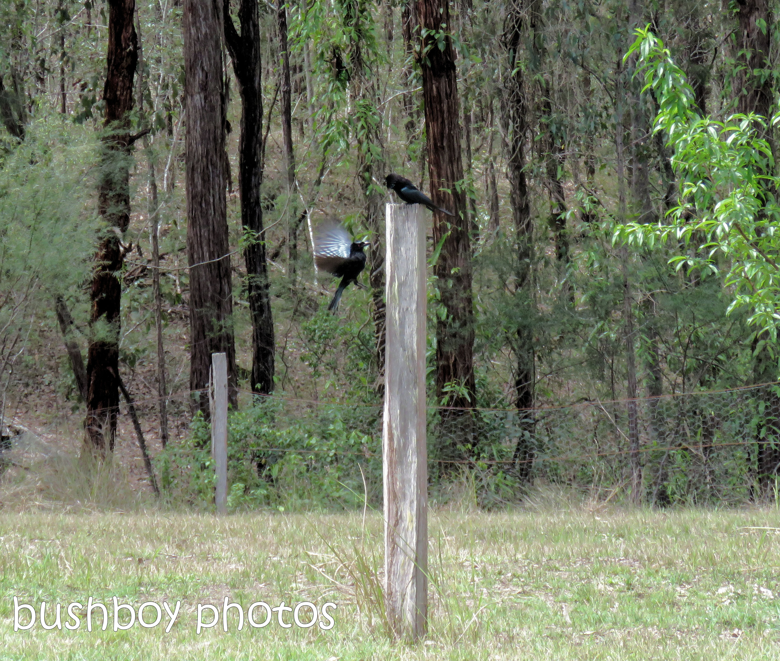 spangled drongo_my post3_named_home_oct 2018