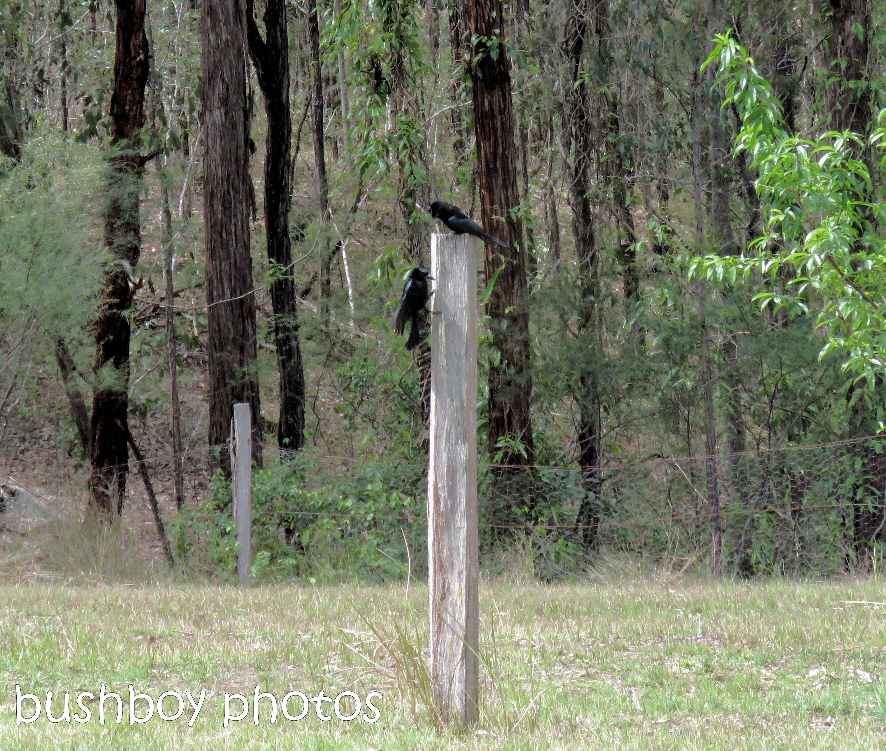 spangled drongo_my post4_named_home_oct 2018