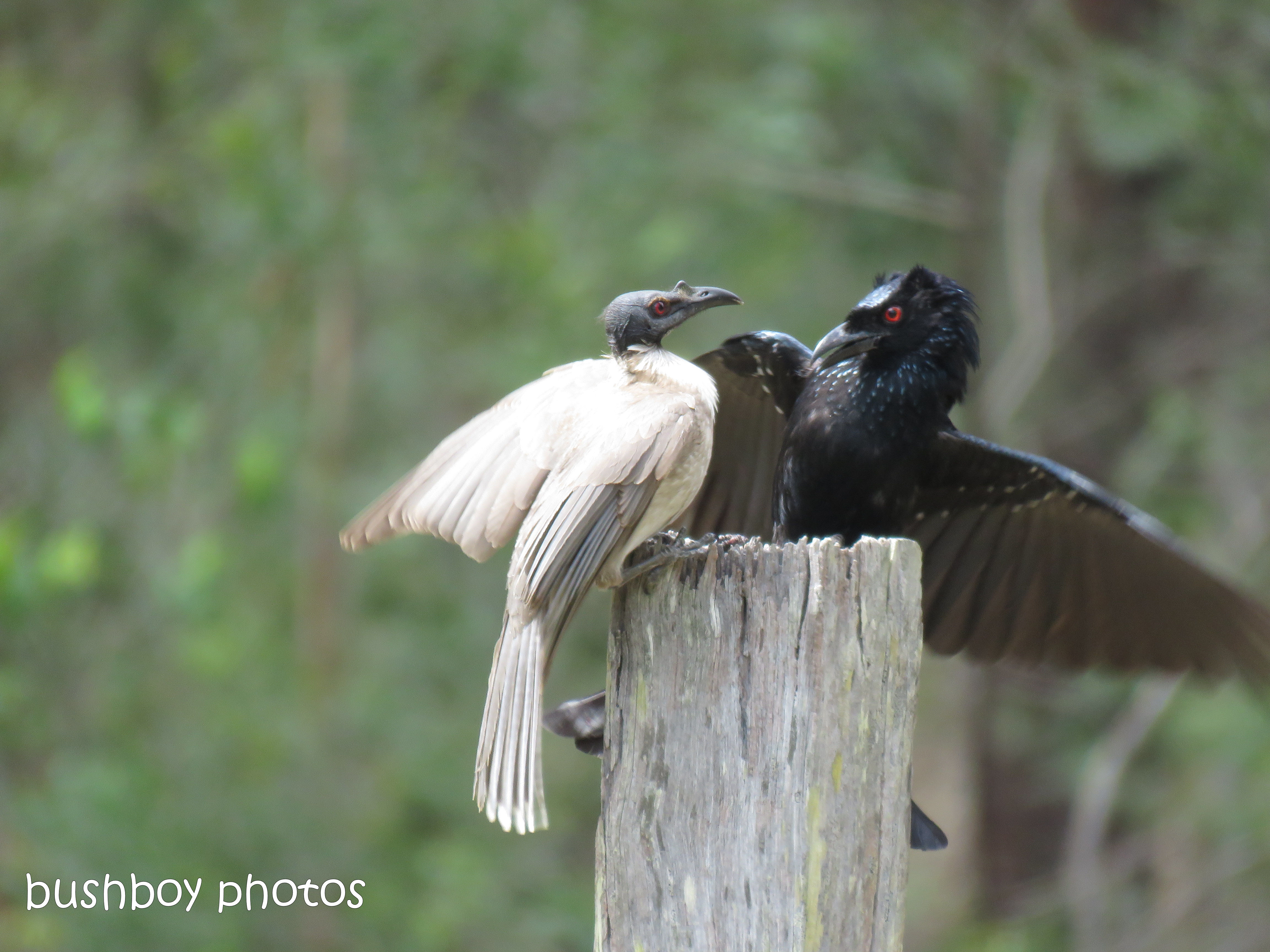 spangled drongo_my post5_named_home_oct 2018