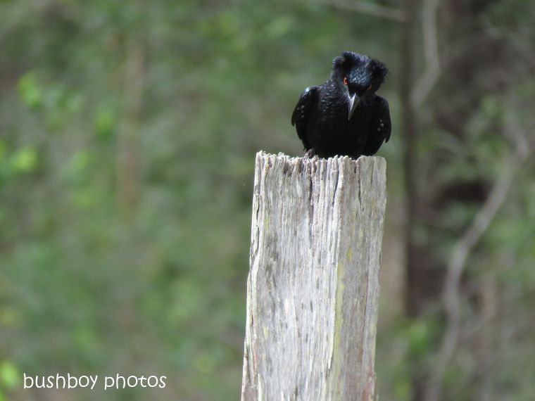 spangled drongo_my post6_named_home_oct 2018