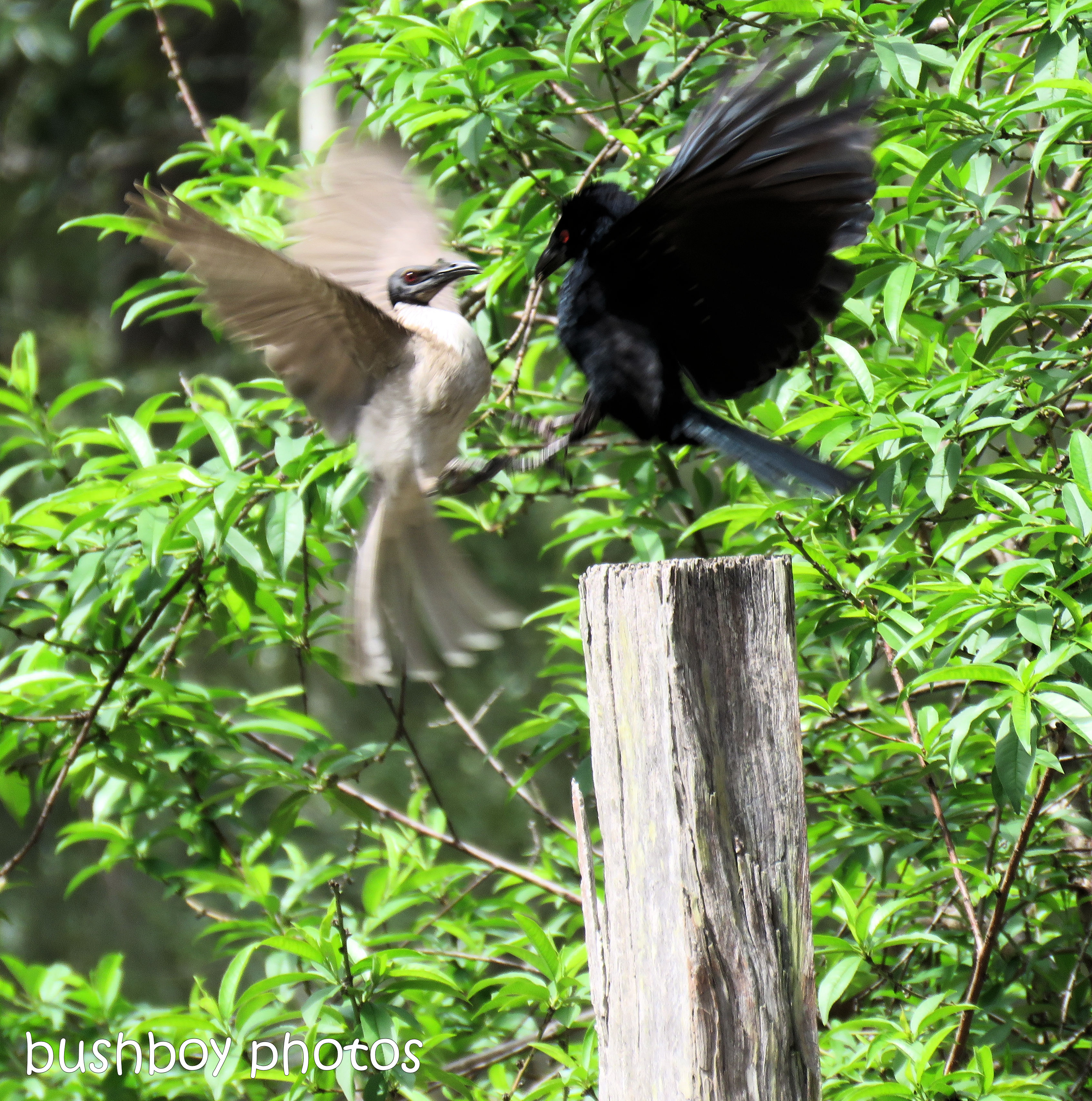 spangled drongo_my post8_named_home_oct 2018