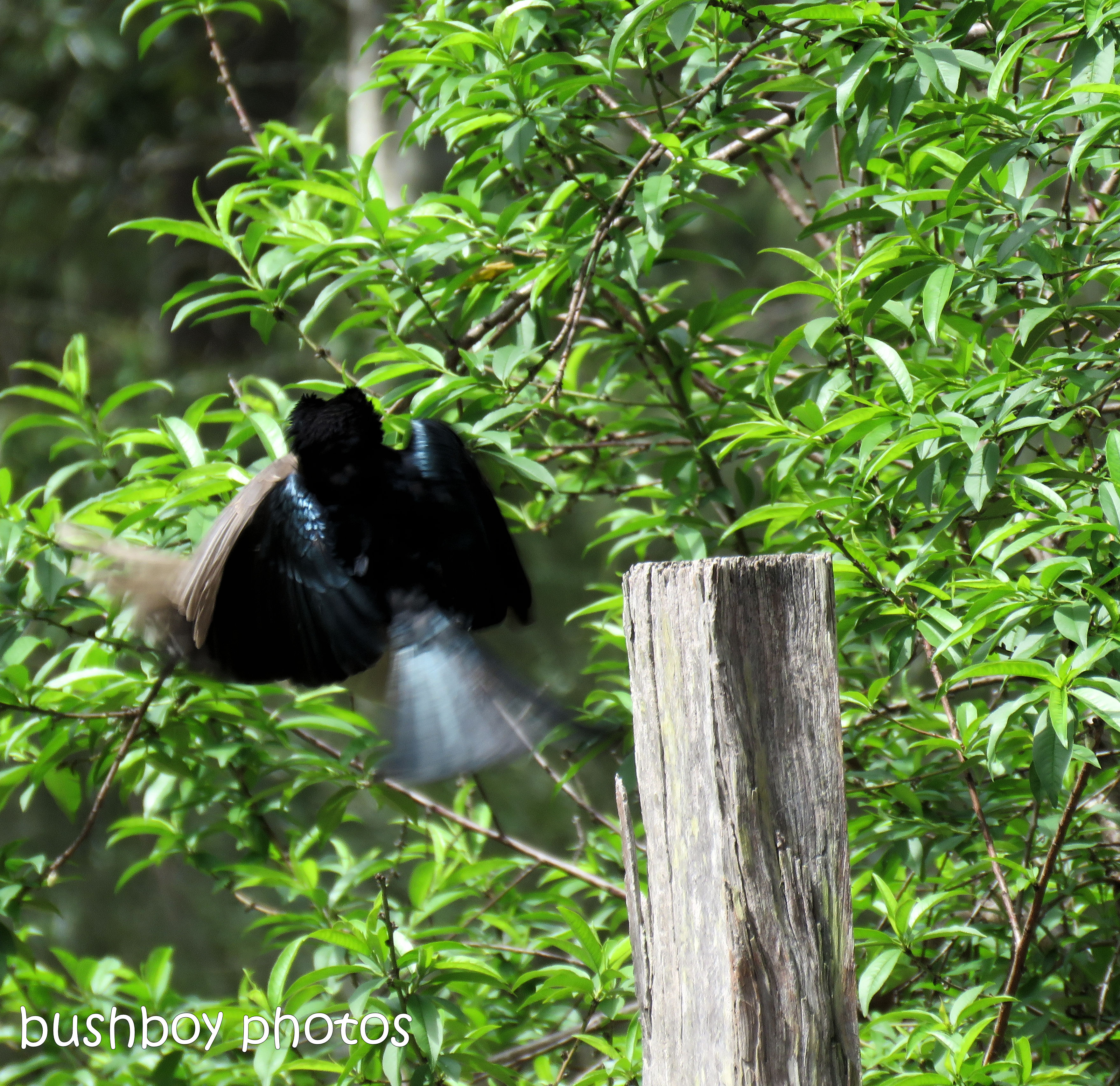 spangled drongo_my post91_named_home_oct 2018