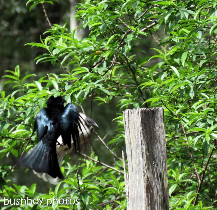 spangled drongo_my post92_named_home_oct 2018
