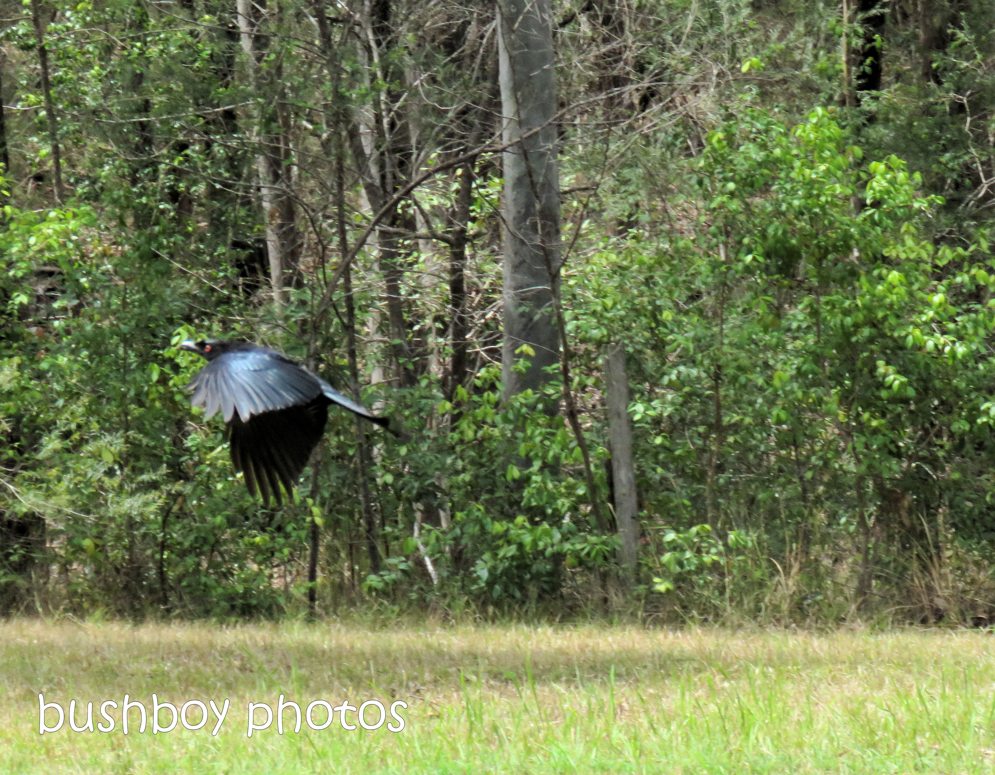 spangled drongo_my post95_named_home_oct 2018