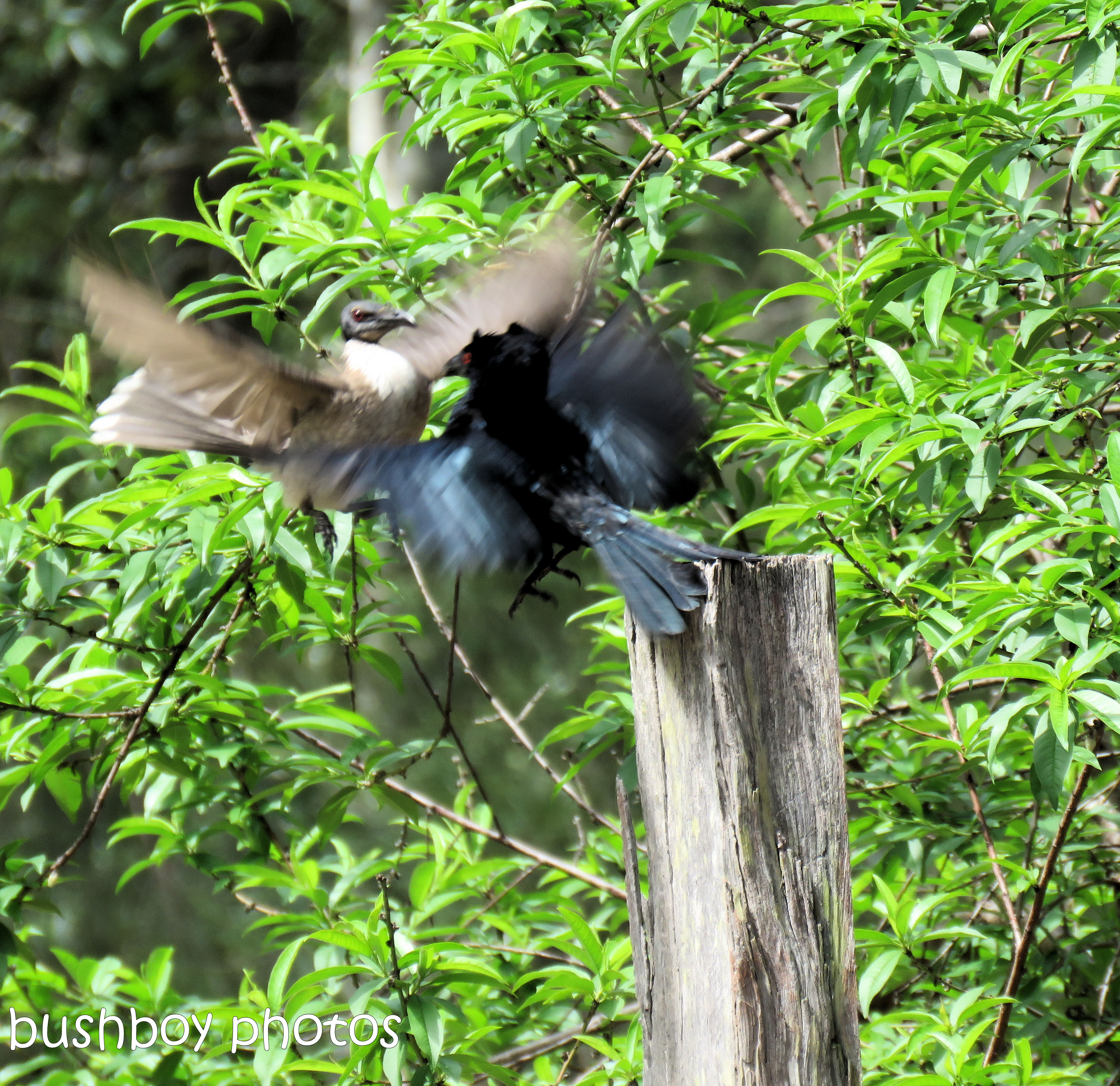 spangled drongo_my post9_named_home_oct 2018